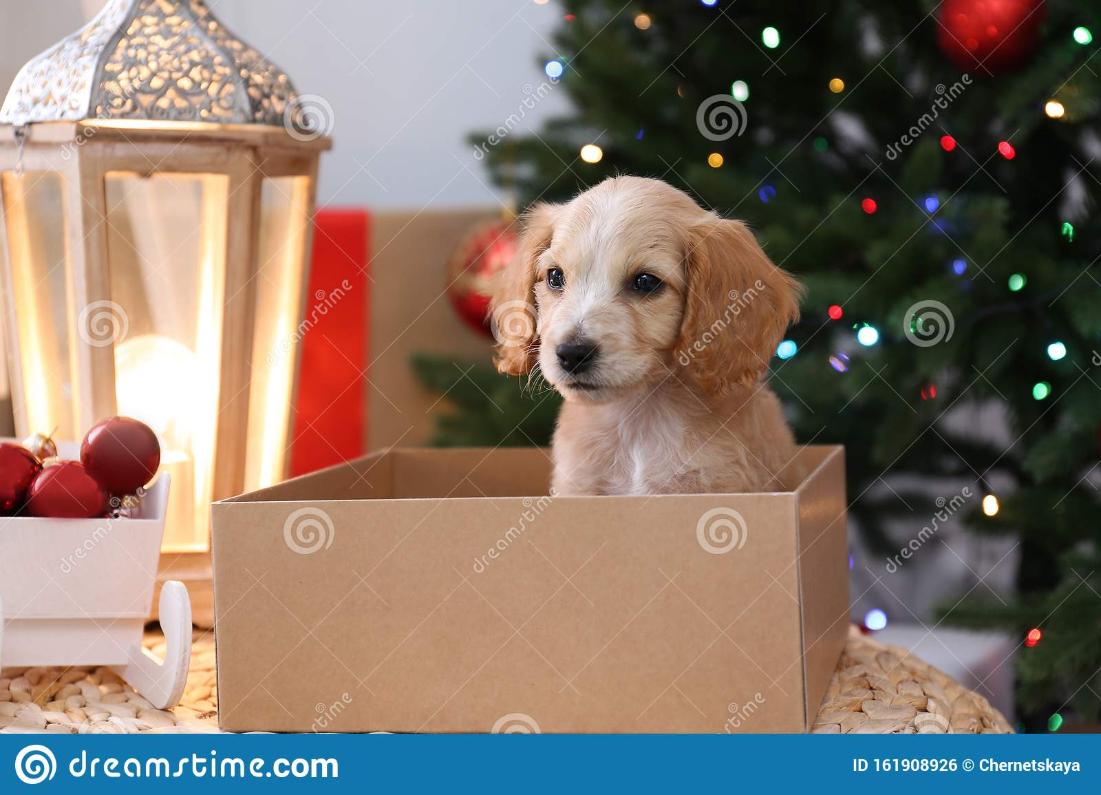 Cute English Cocker Spaniel Puppy In Christmas Gift Box Stock Photo Image Of English Cute 161908926