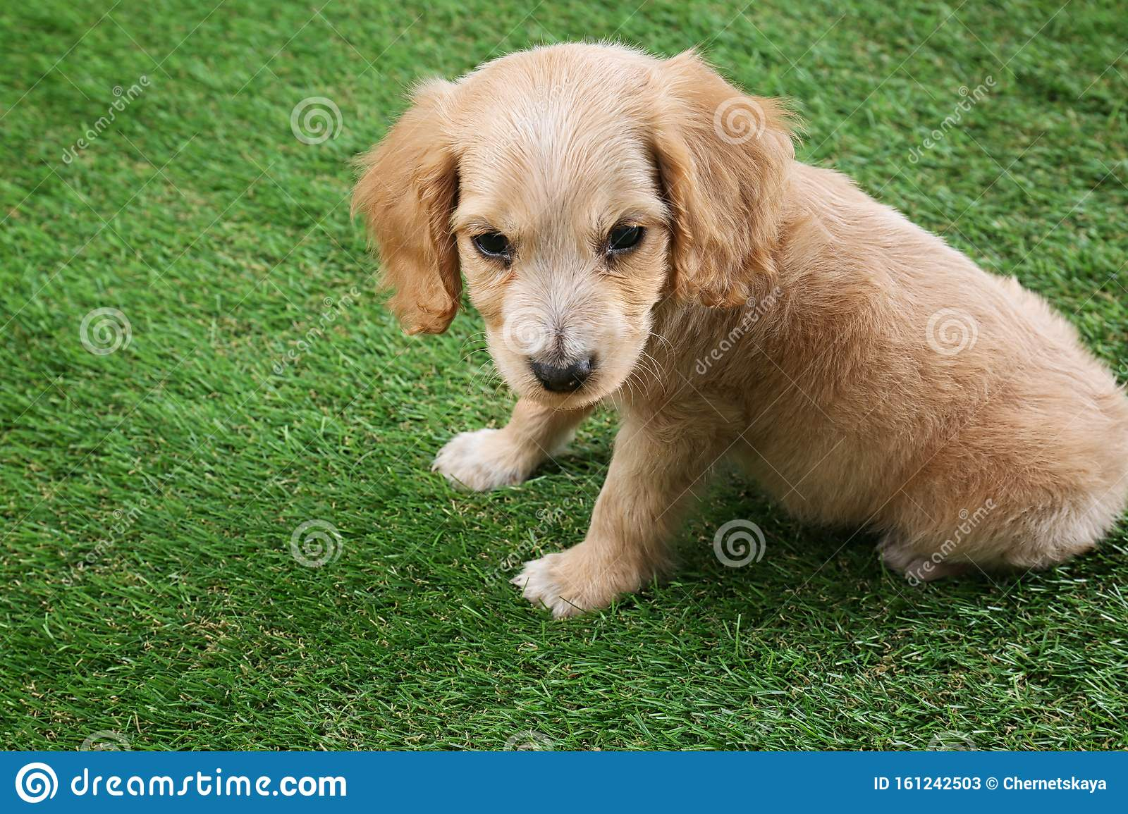 Cute English Cocker Spaniel Puppy On Grass Space For Text Stock Image Image Of Mammal Furry 161242503