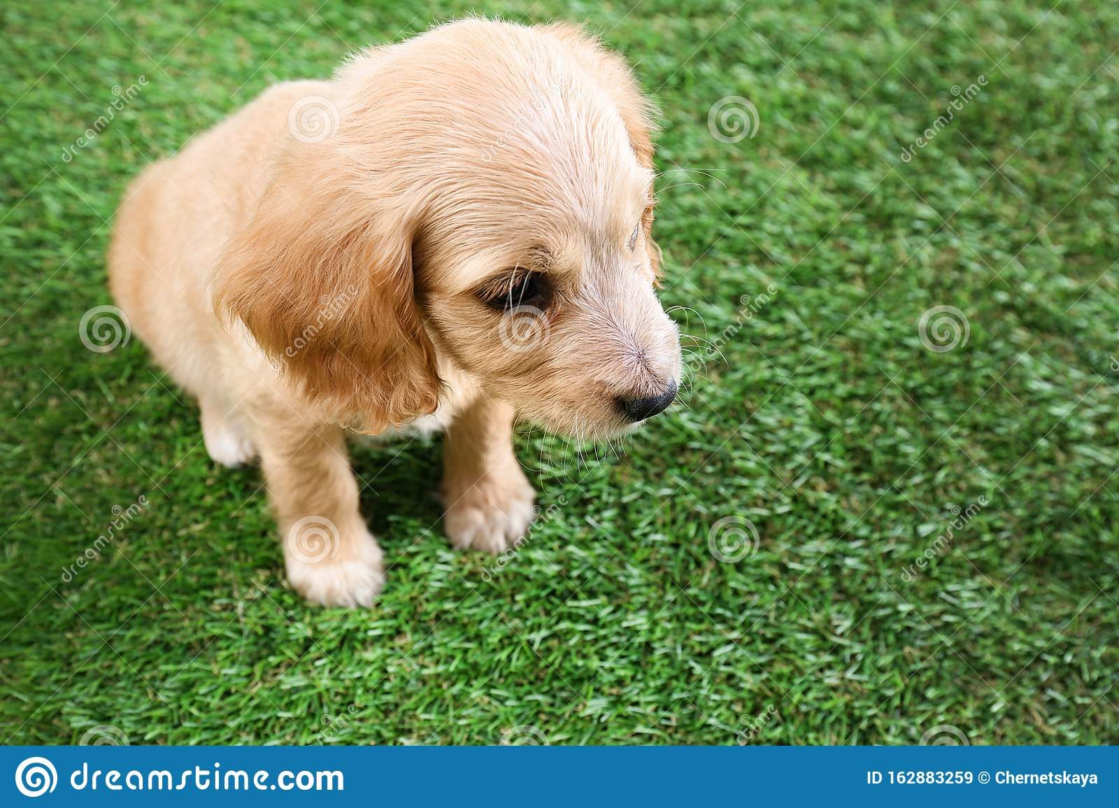 Cute English Cocker Spaniel Puppy On Grass Space For Text Stock Image Image Of Adorable Space 162883259