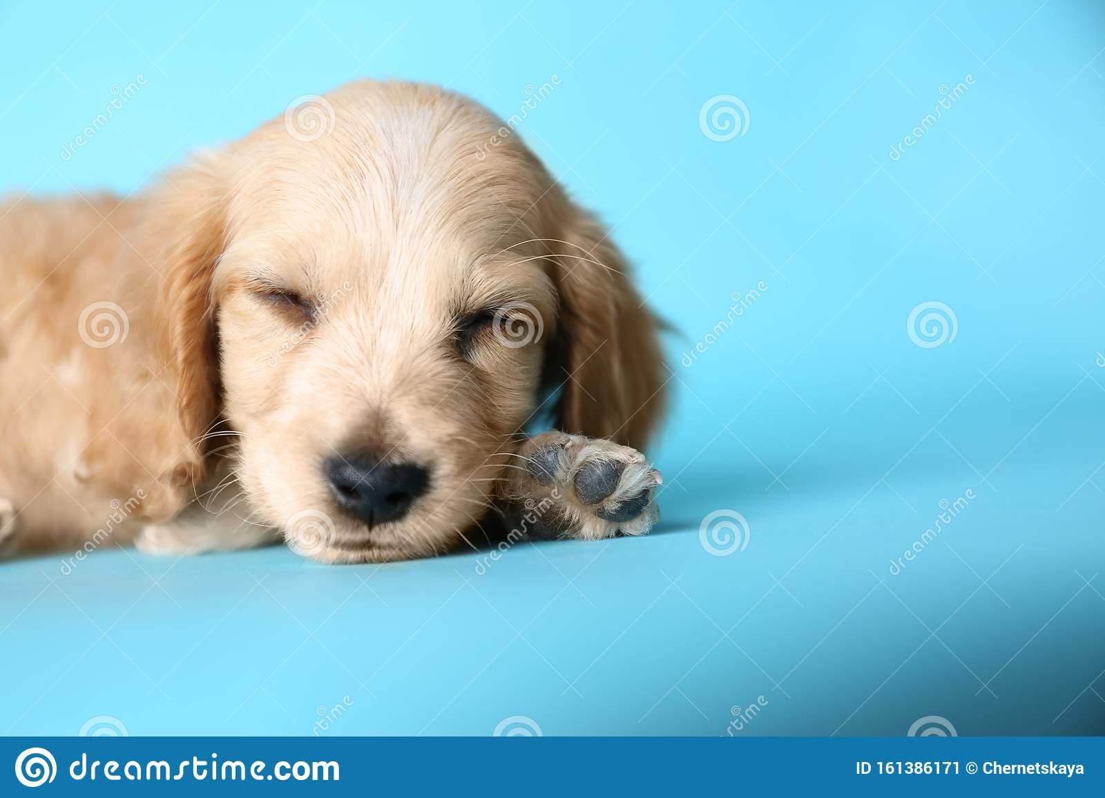 Cute English Cocker Spaniel Puppy Sleeping On Blue Background Space For Text Stock Image Image Of Canine Happy 161386171