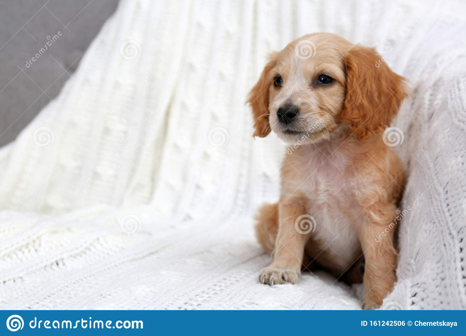 Cute English Cocker Spaniel Puppy On Sofa Stock Photo Image Of Golden Happy 161242506