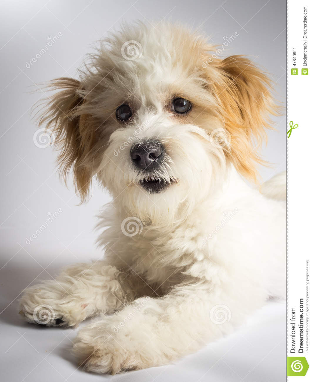 Cute Expressive White Mixed Breed Dog With Red Ears Stock Photo ...