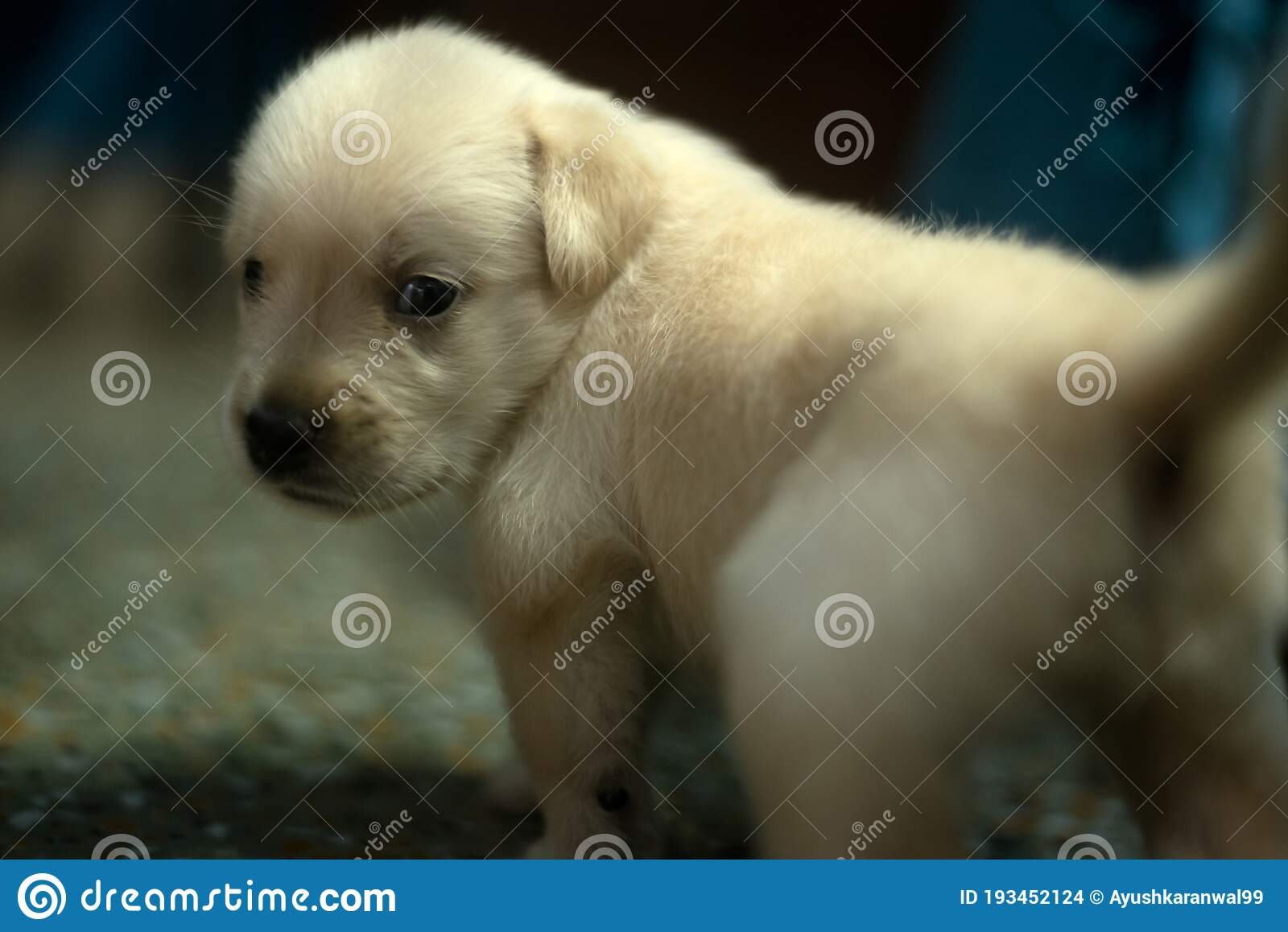 Cute Eyes Of Labrador Puppy Stock Photo Image Of Golden Macro 193452124