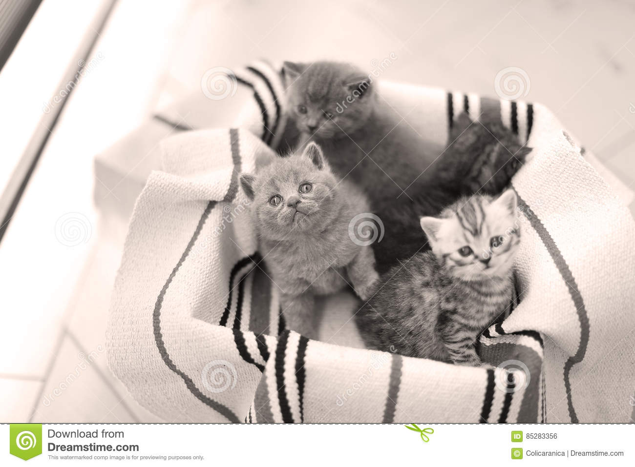 Cute face, newly born kittens meowing