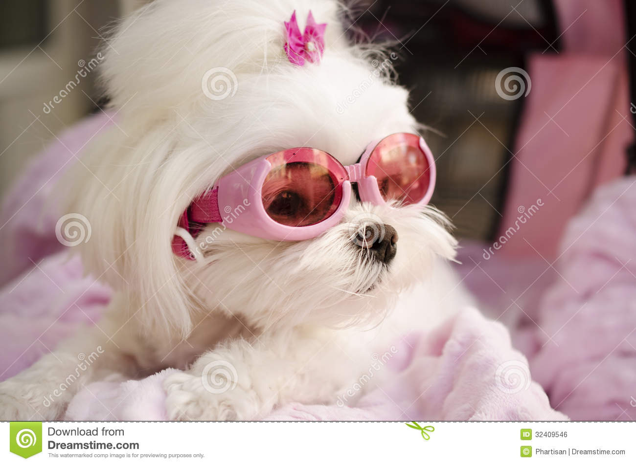 cute fashion diva puppy maltese royalty free stock image   image