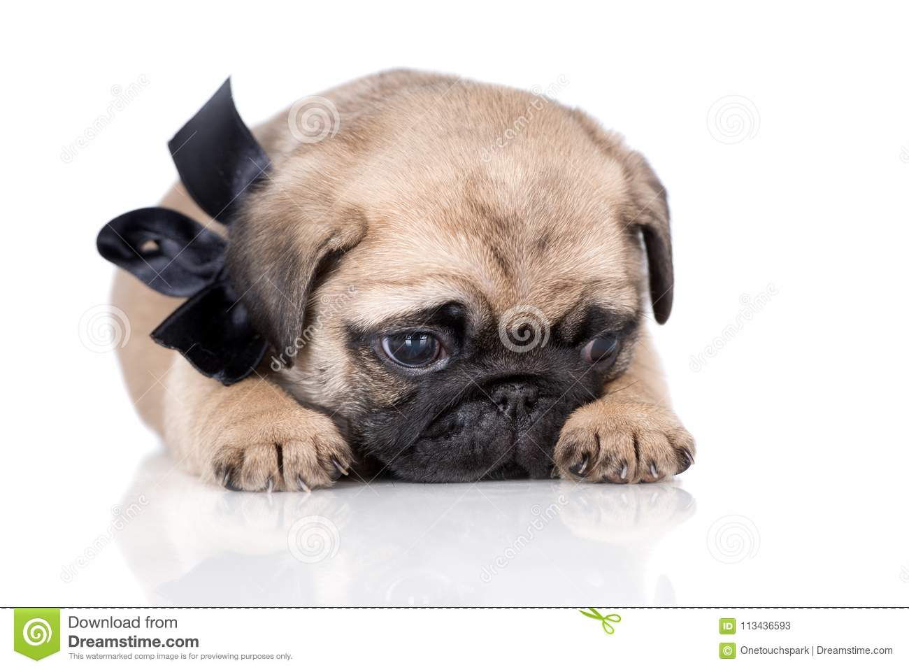 Adorable Fawn Pug Puppy Posing On White Stock Image Image Of Fawn Domestic 113436593