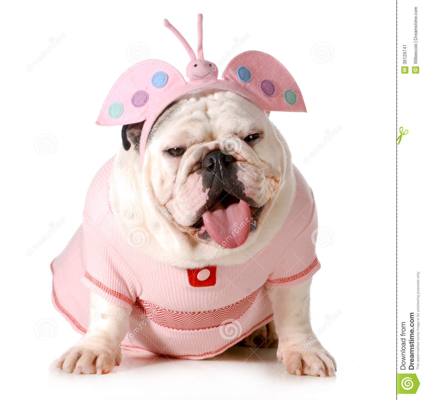 Cute puppy - english bulldog female wearing cute costume isolated on ...