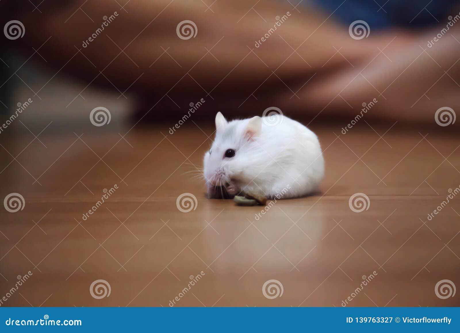 Cute Female Exotic Winter White Dwarf Hamster Eating Pet