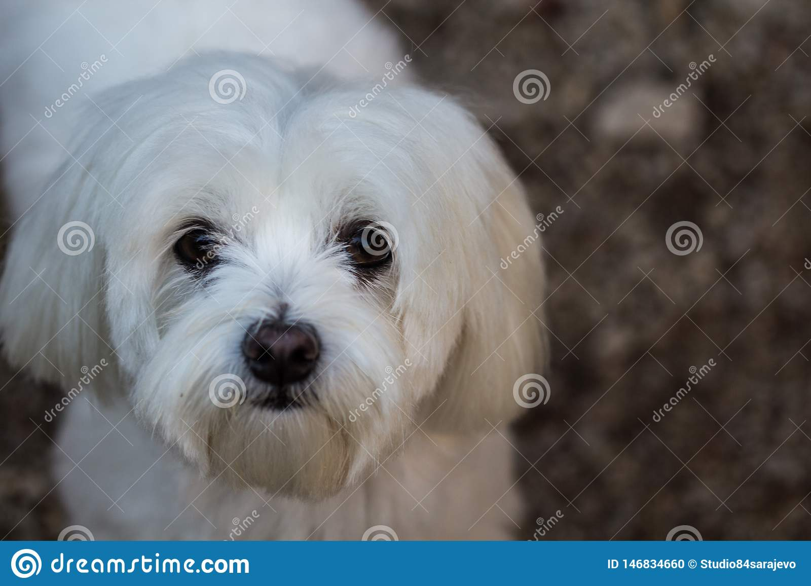 Cute Female Maltese Pup Standing For Her Portrait Stock Photo Image Of Mini Groom 146834660