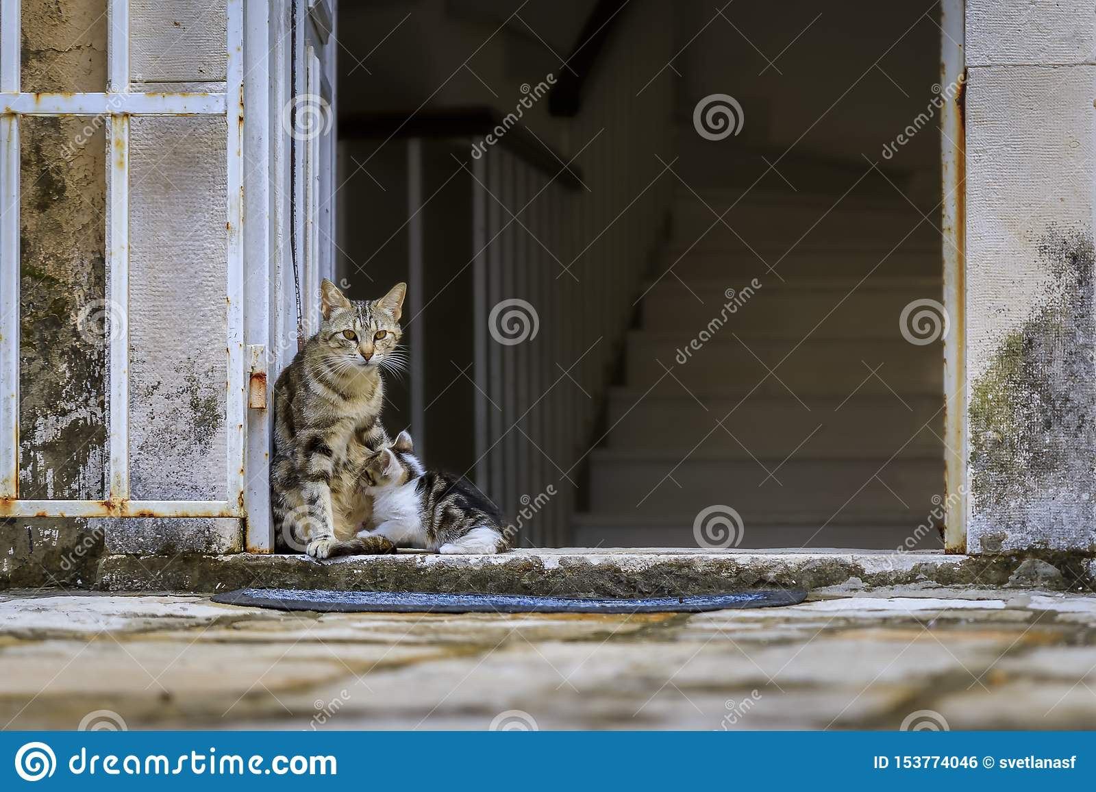 Cute feral alley mama cat feeding the baby kitten in Budva medieval Old Town outside an old house in Montenegro, Balkans