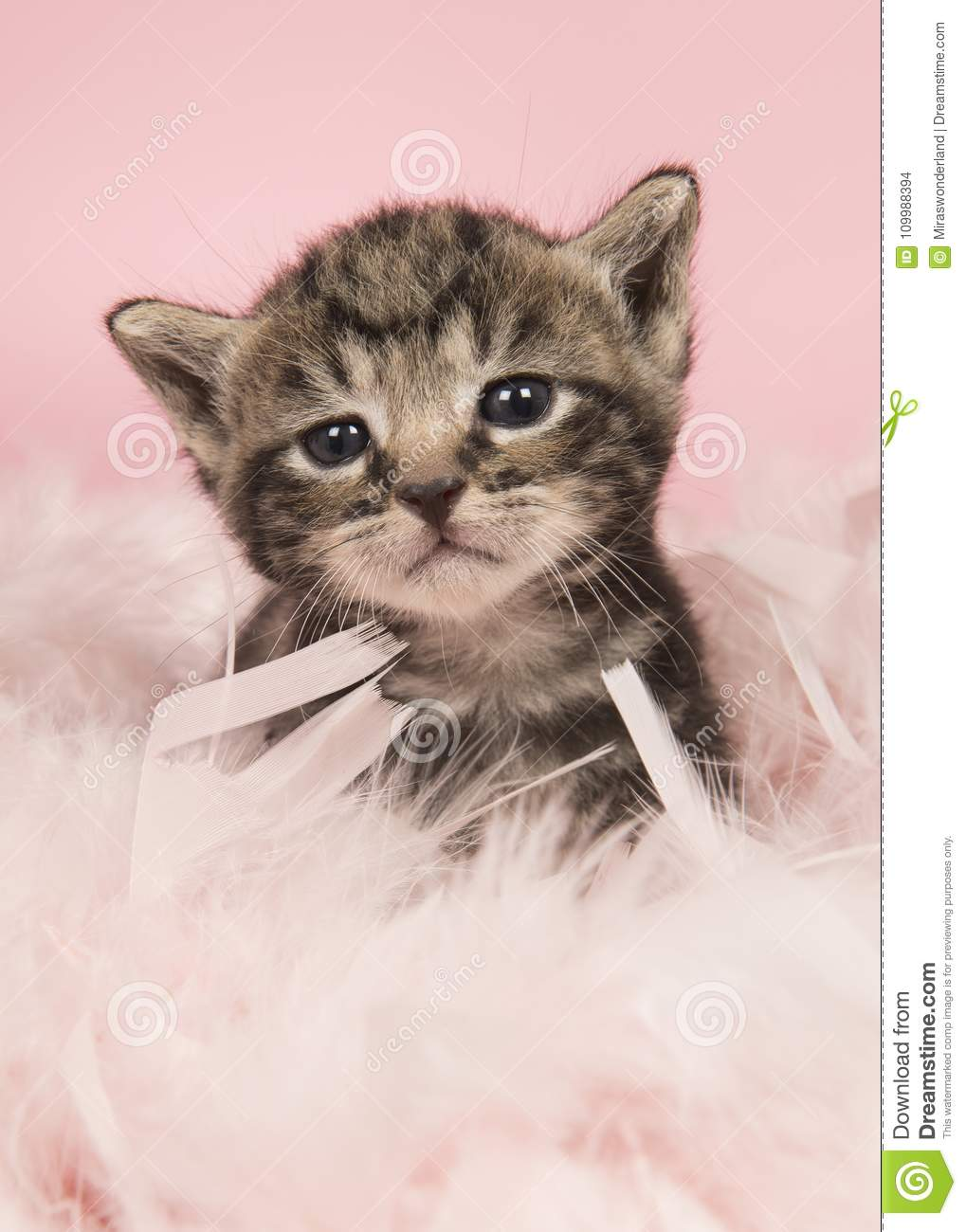 Cute five weeks old tabby baby cat in pink feathers on a pink ba