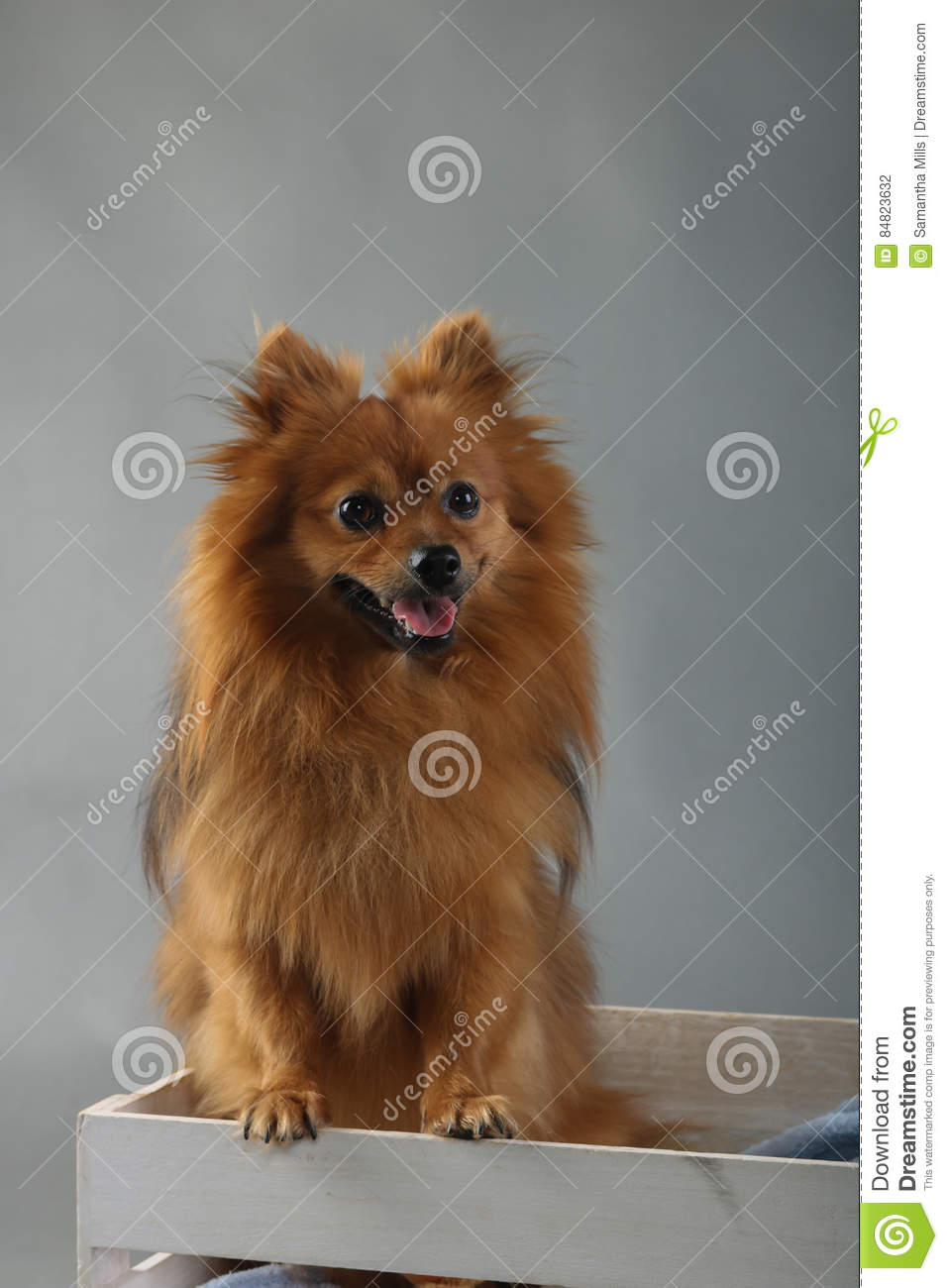 Cute Fluffy Brown Small Dog Stock Photo Image Of Brown Cute 84823632