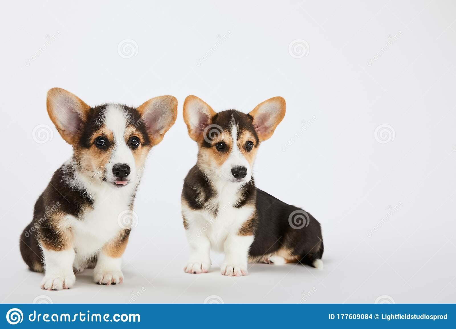 Cute Fluffy Corgi Puppies On White Stock Photo Image Of Backdrop Puppies 177609084