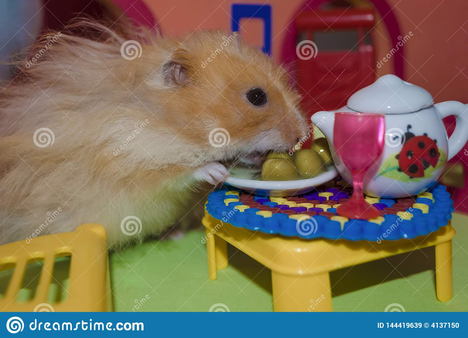 Cute fluffy light brown hamster eats peas at the table in his house. Close-up pet eats.