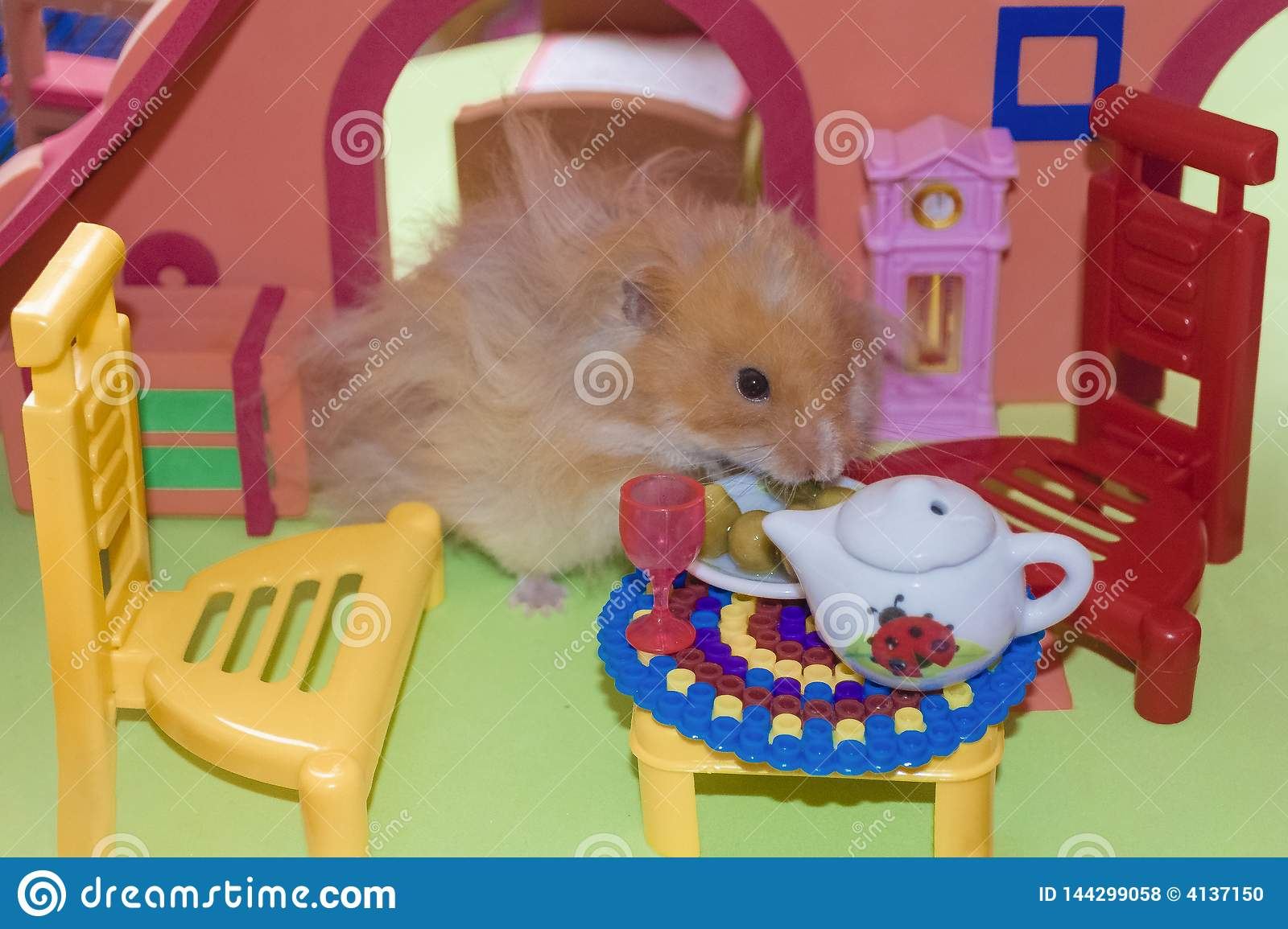 Cute fluffy light brown hamster eats peas at the table in his house.