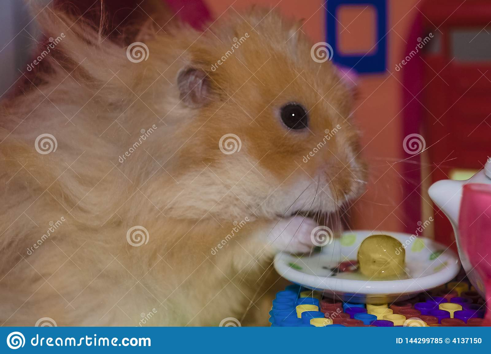 Cute fluffy light brown hamster eats pes at the table in his house.