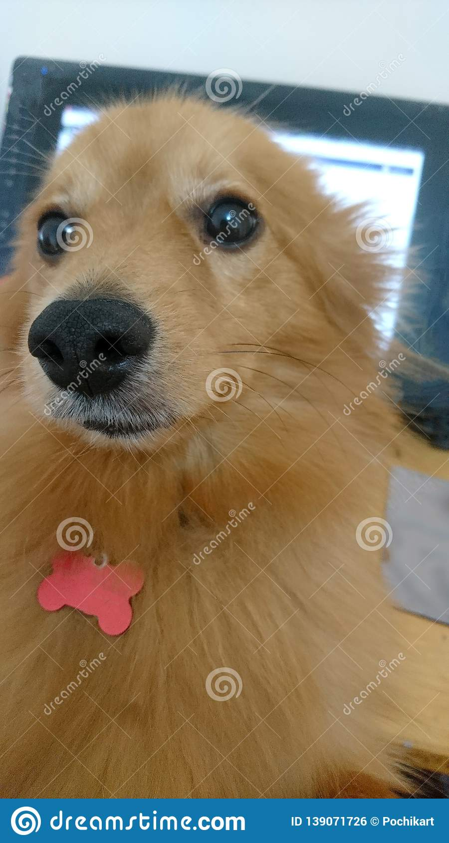 Cute Fluffy Orange Dog Leans in Front of Computer Screen
