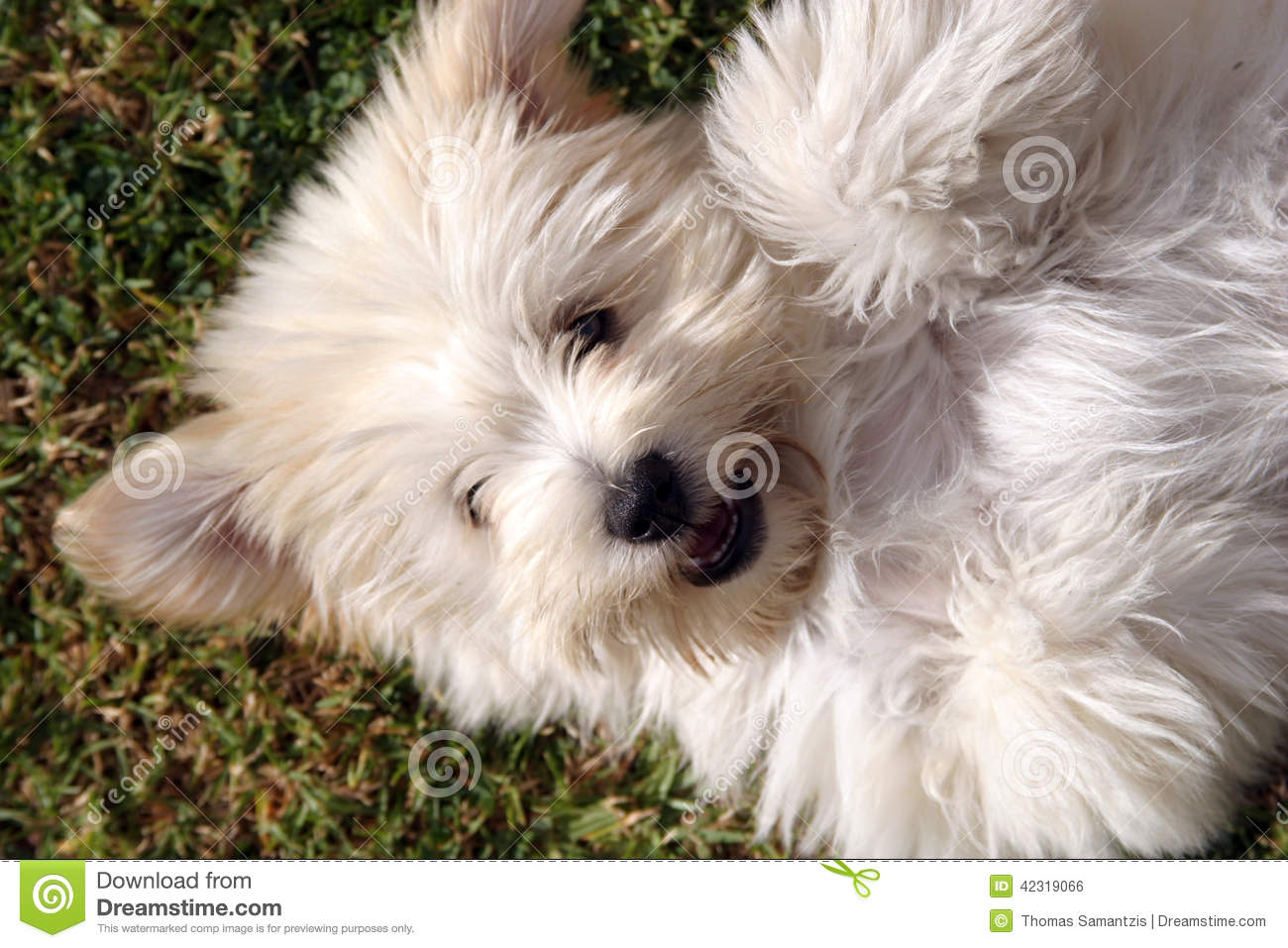 Cute Fluffy Puppy Dog Stock Photo Image Of Cute White 42319066