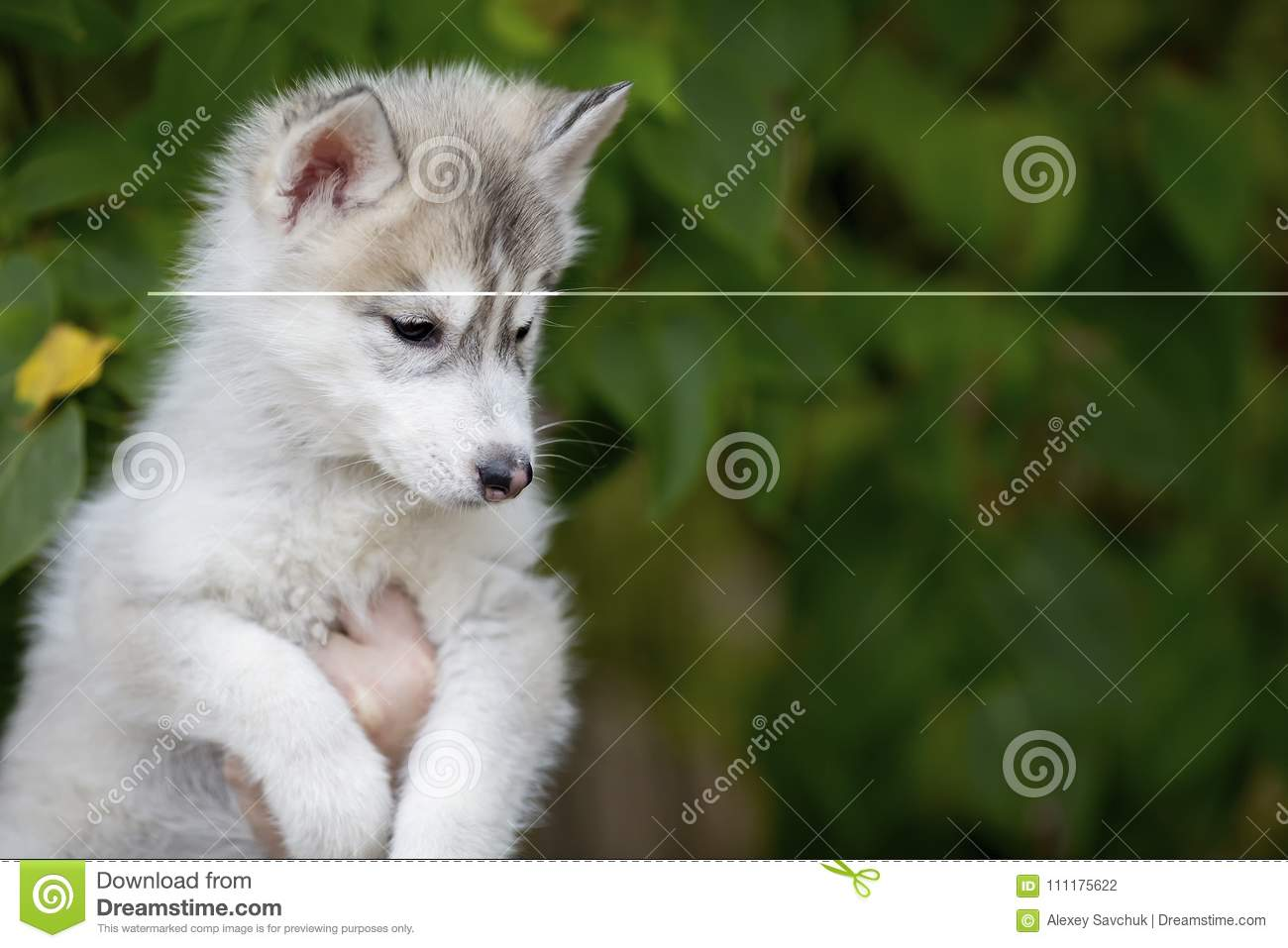 cute fluffy puppy husky sitting on hands looking down stock photo