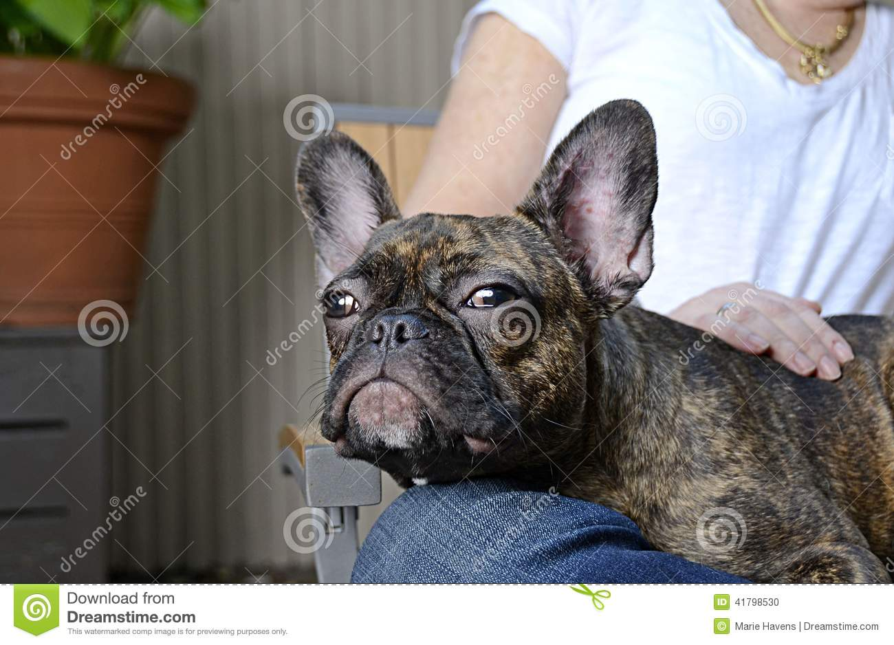 french bulldog allergies cute french bulldog puppy with allergies stock photo 516