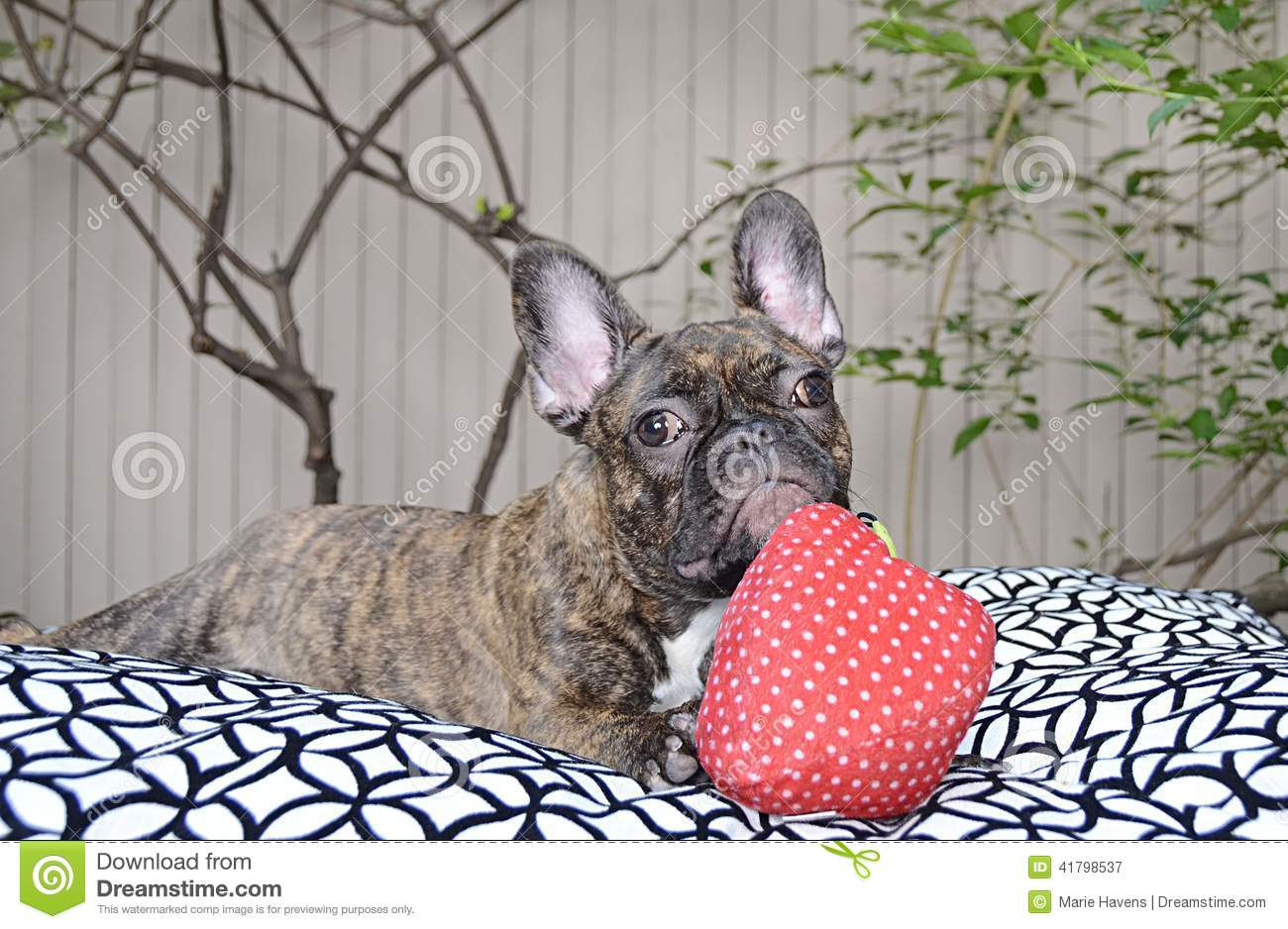 french bulldog allergies cute french bulldog puppy with allergies stock photo 5502