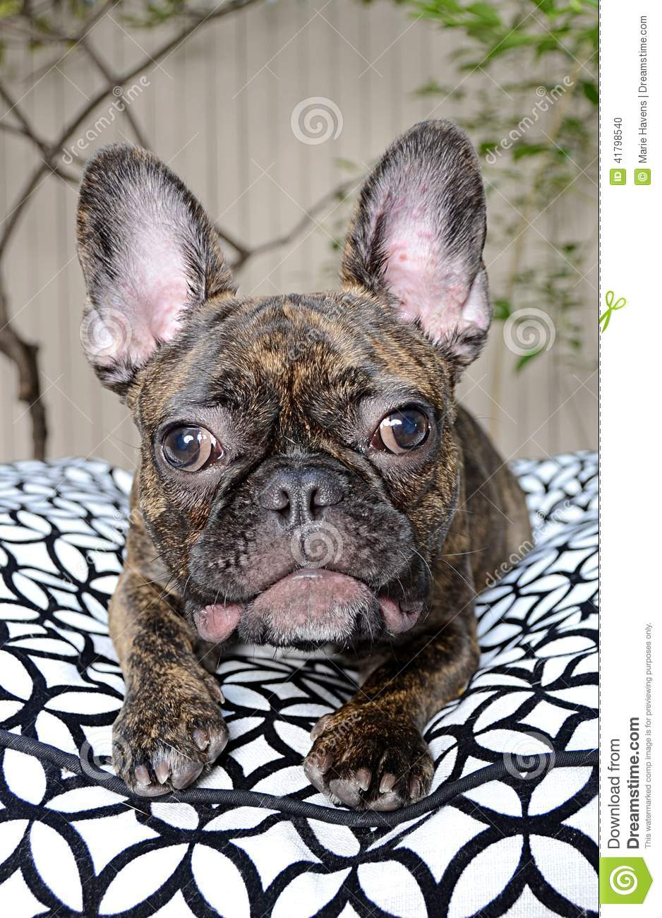 french bulldog allergies cute french bulldog puppy with allergies stock photo 7327