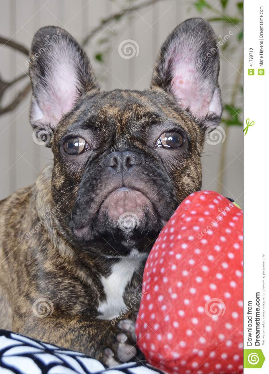Cute French Bulldog Puppy With Allergies 002 Stock Image