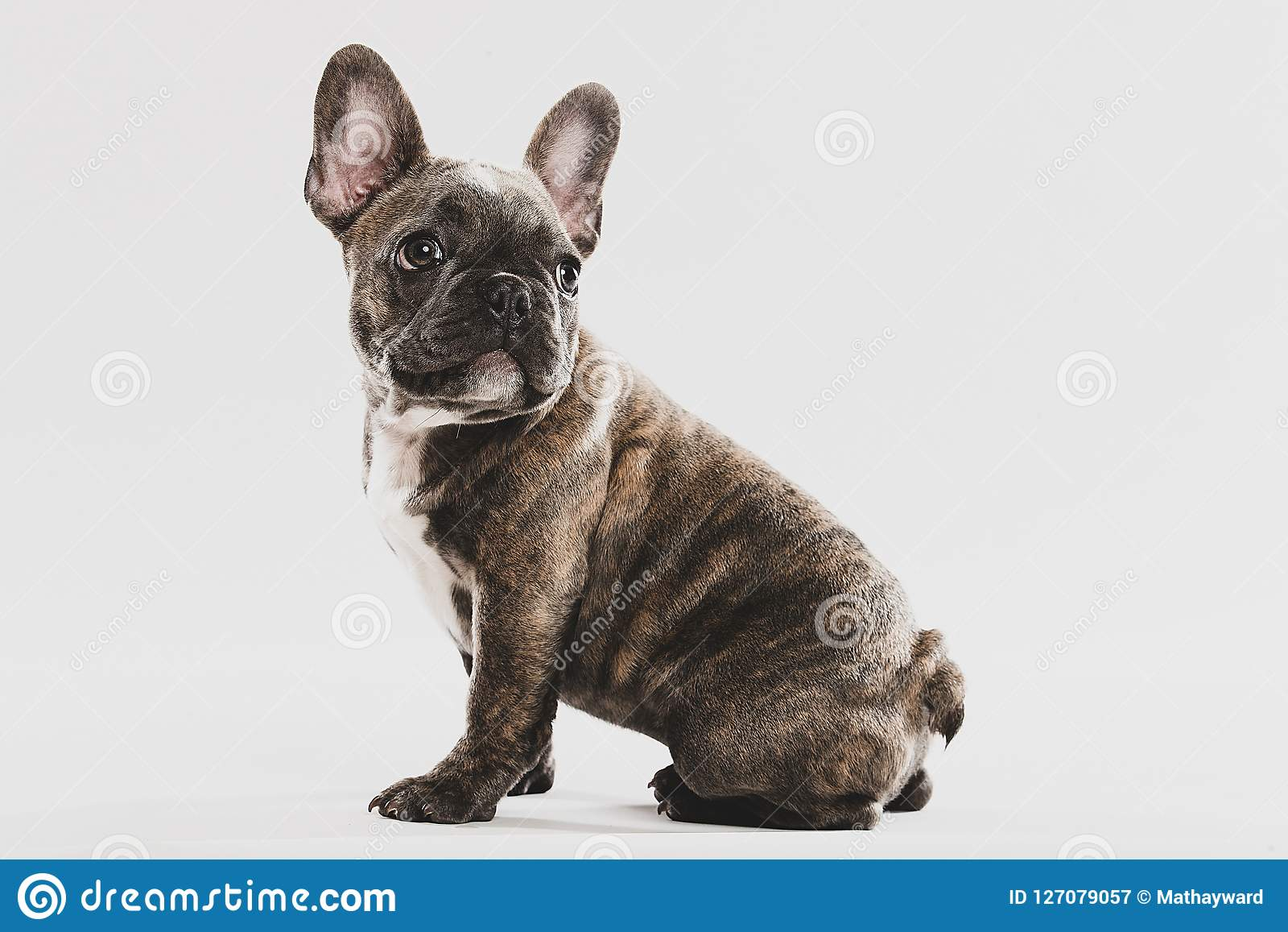 Cute French Bulldog Puppy Portrait Stock Image Image Of Baby Cute 127079057