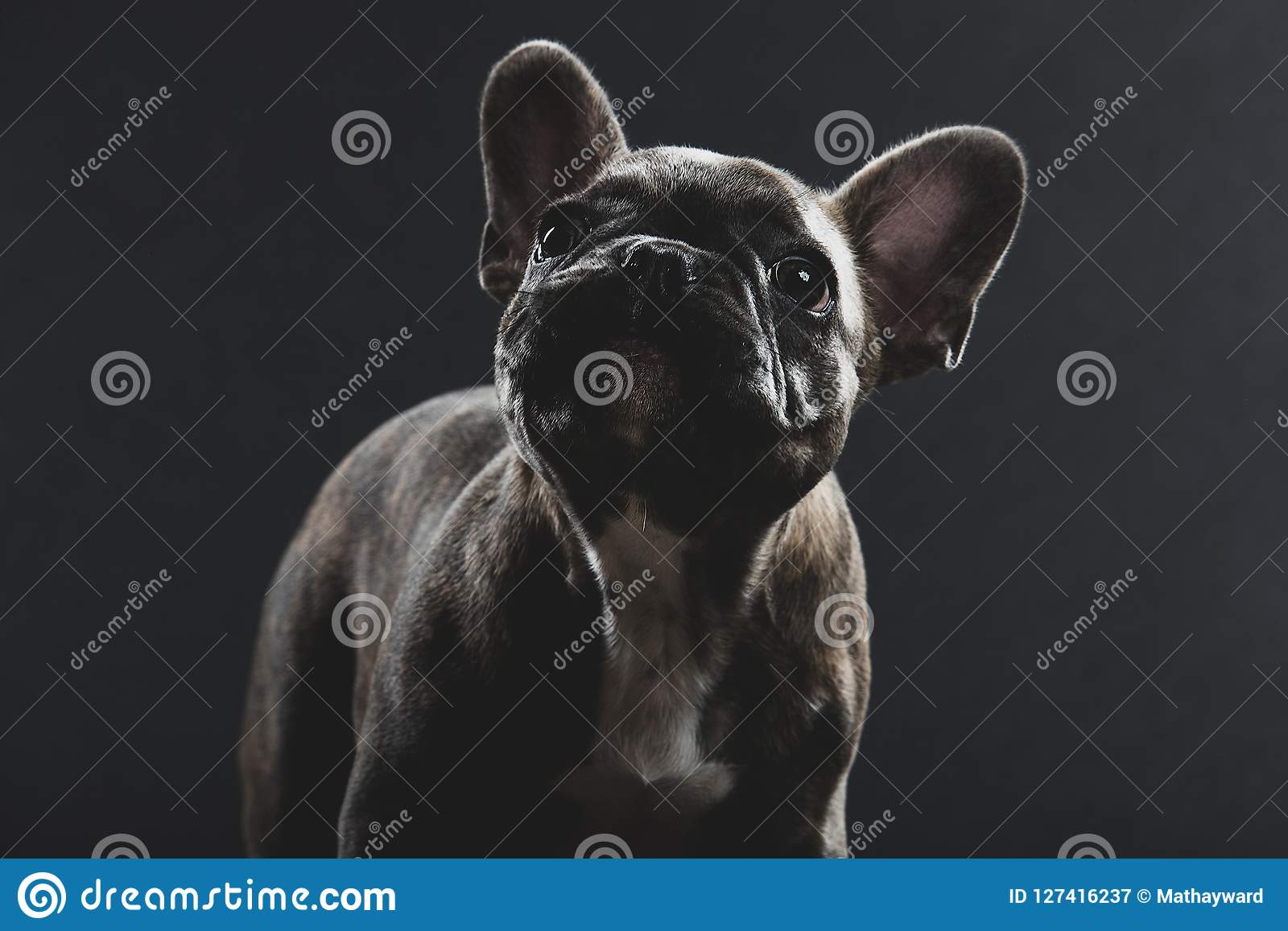 Cute French Bulldog Puppy Portrait Stock Image Image Of Frenchie Breed 127416237