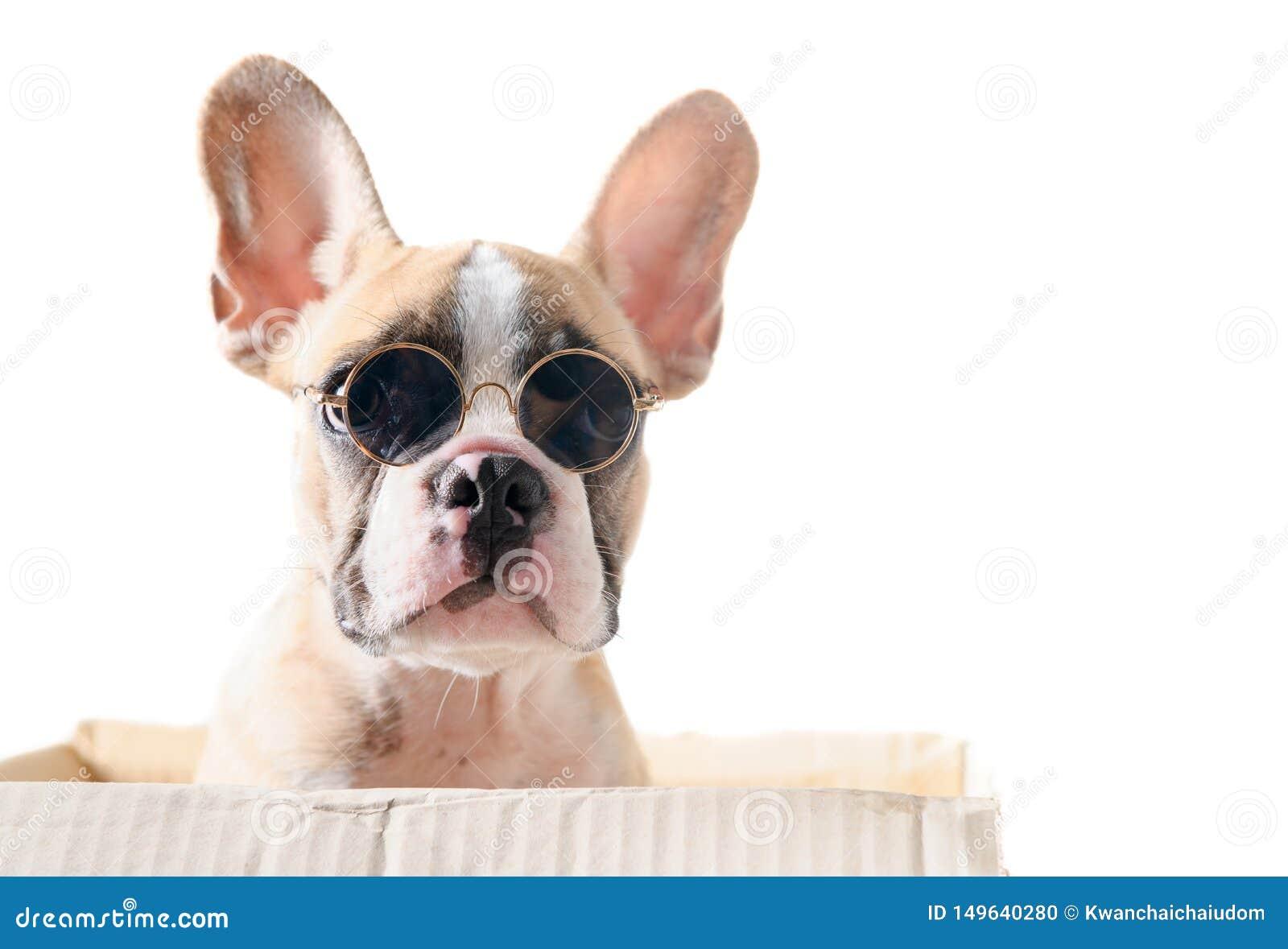 Cute french bulldog wear sunglass in paper box