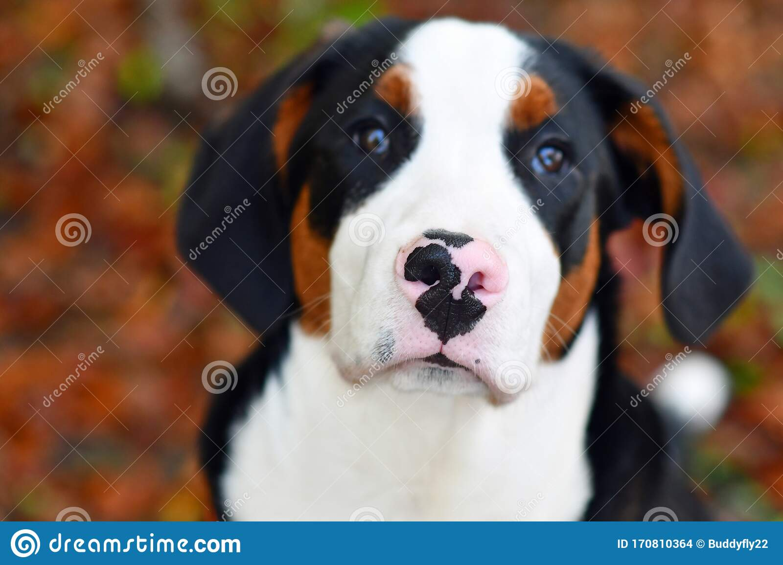Cute And Funny Big Swiss Mountain Dog Puppy Stock Photo Image Of Swiss Fast 170810364