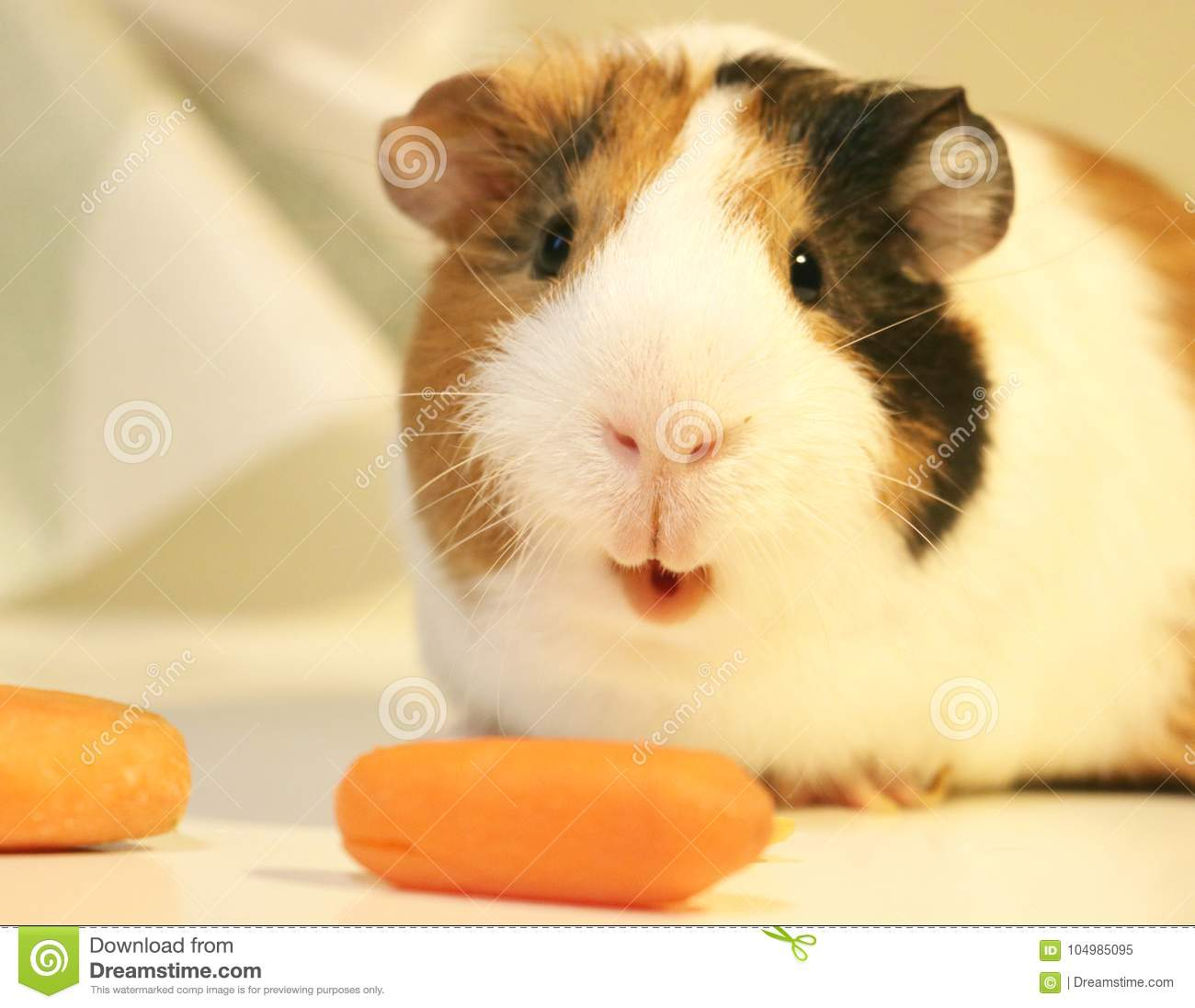 Cute And Funny Guinea Pig Is Eating A Carrot Stock Image