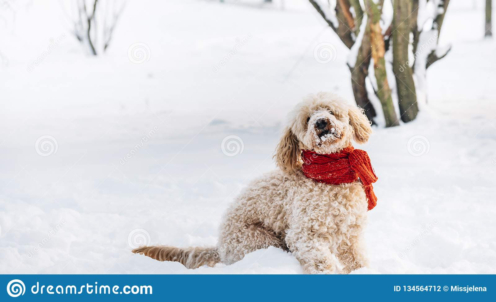 Cute and funny little dog with red scarf playing and jumping in the snow.