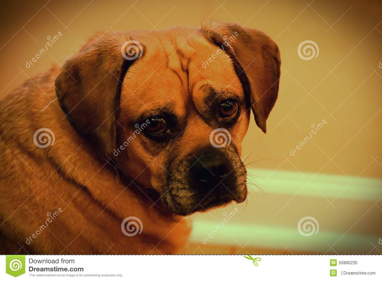 Cute Funny Silly Adorable Puggle Dog Stock Photo - Image: 50880235
