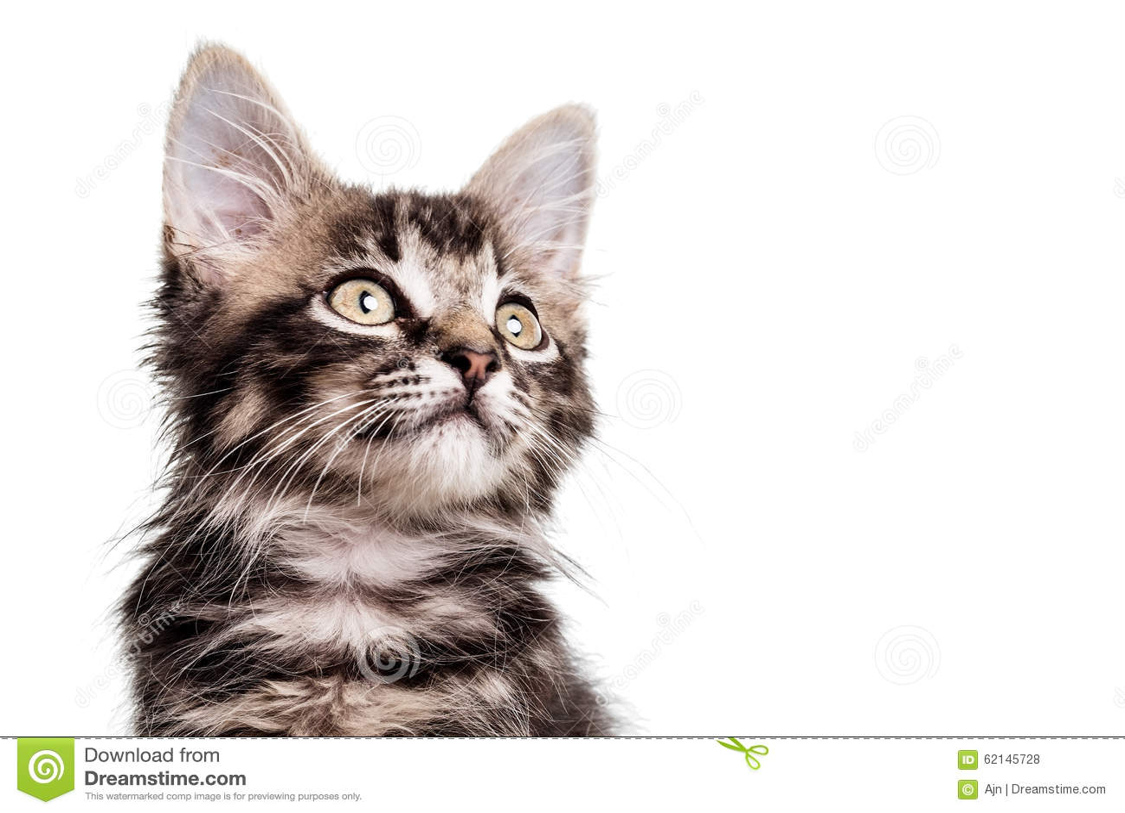 Cute Furry Kitten close up