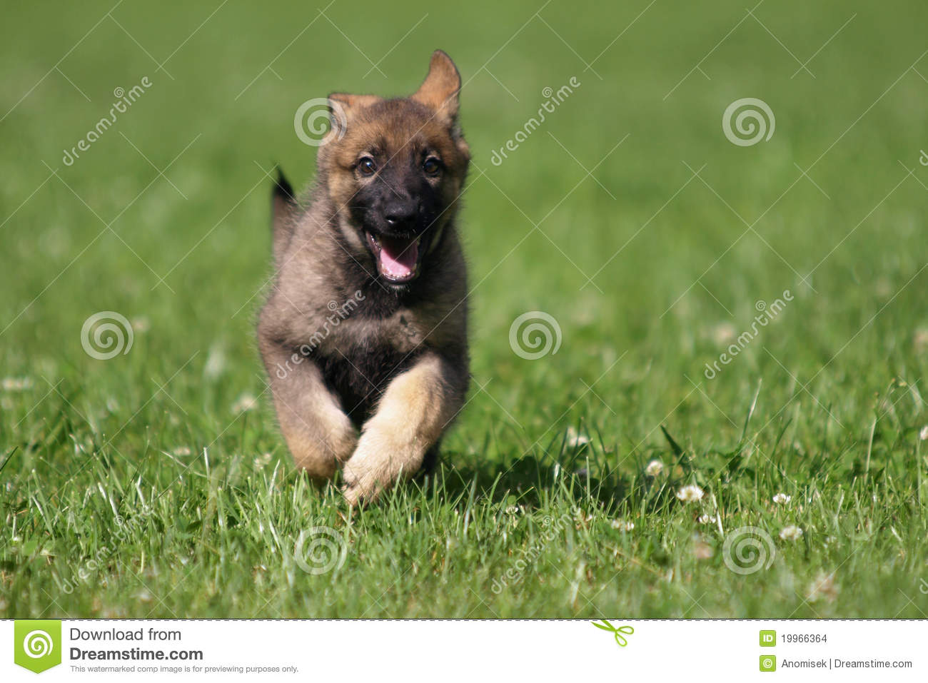 Cute German Shepherd Puppy Stock Photo Image Of Breed 19966364