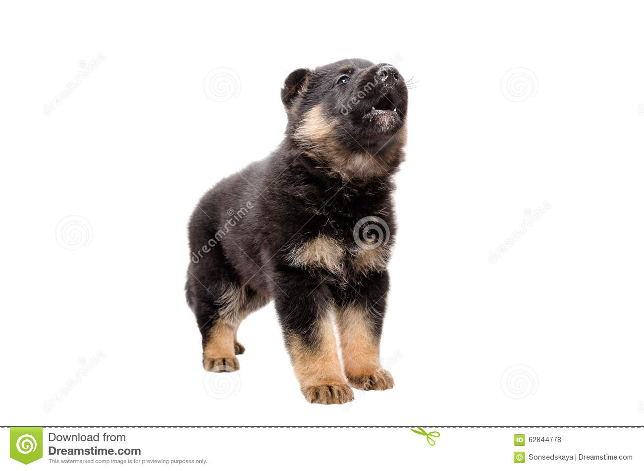 Cute German Shepherd Puppy Barks Stock Photo Image Of Bark Doggy