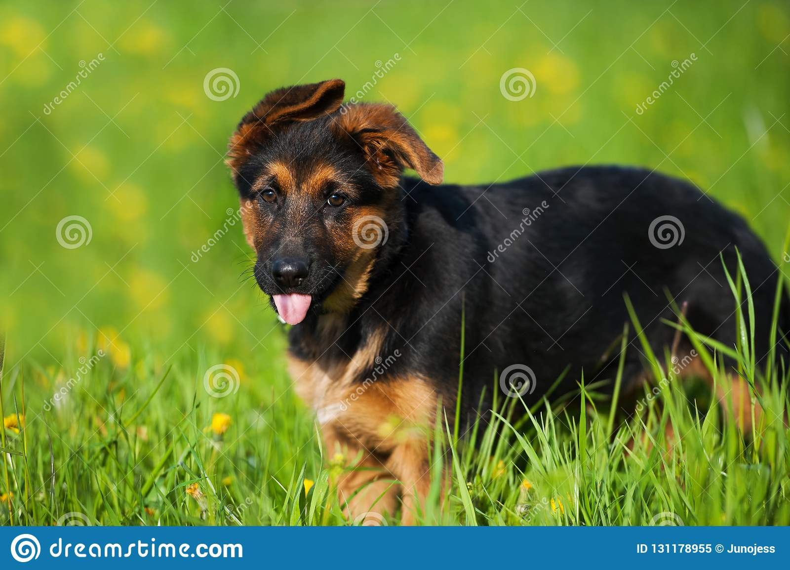 Cute German Shepherd Puppy Standing In A Flower Meadow Stock Image Image Of Camera Nature 131178955