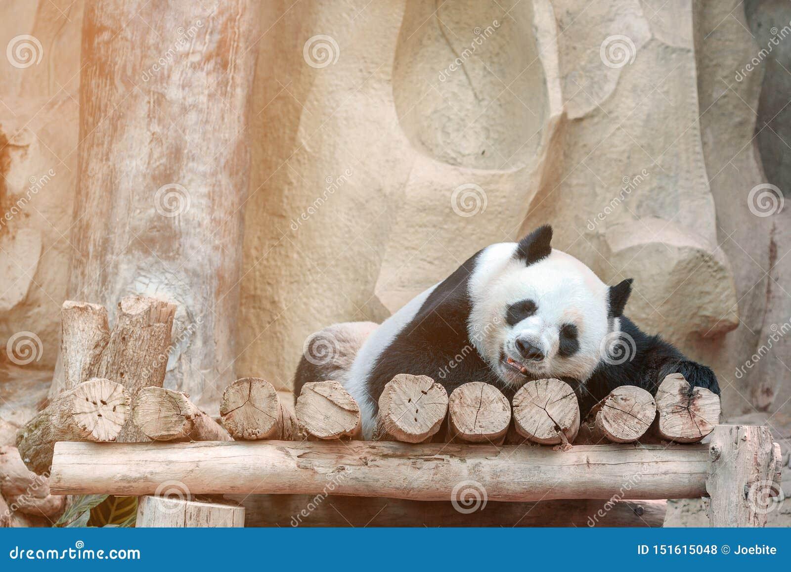 Cute giant panda or Ailuropoda melanoleuca enjoy playing at the zoo. Adorable big bear with beautiful fur.