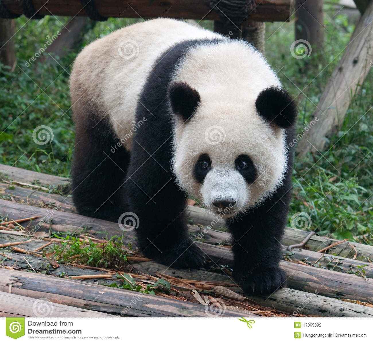 Cute giant panda bear stock photo. Image of jungle, fund ... - photo#31
