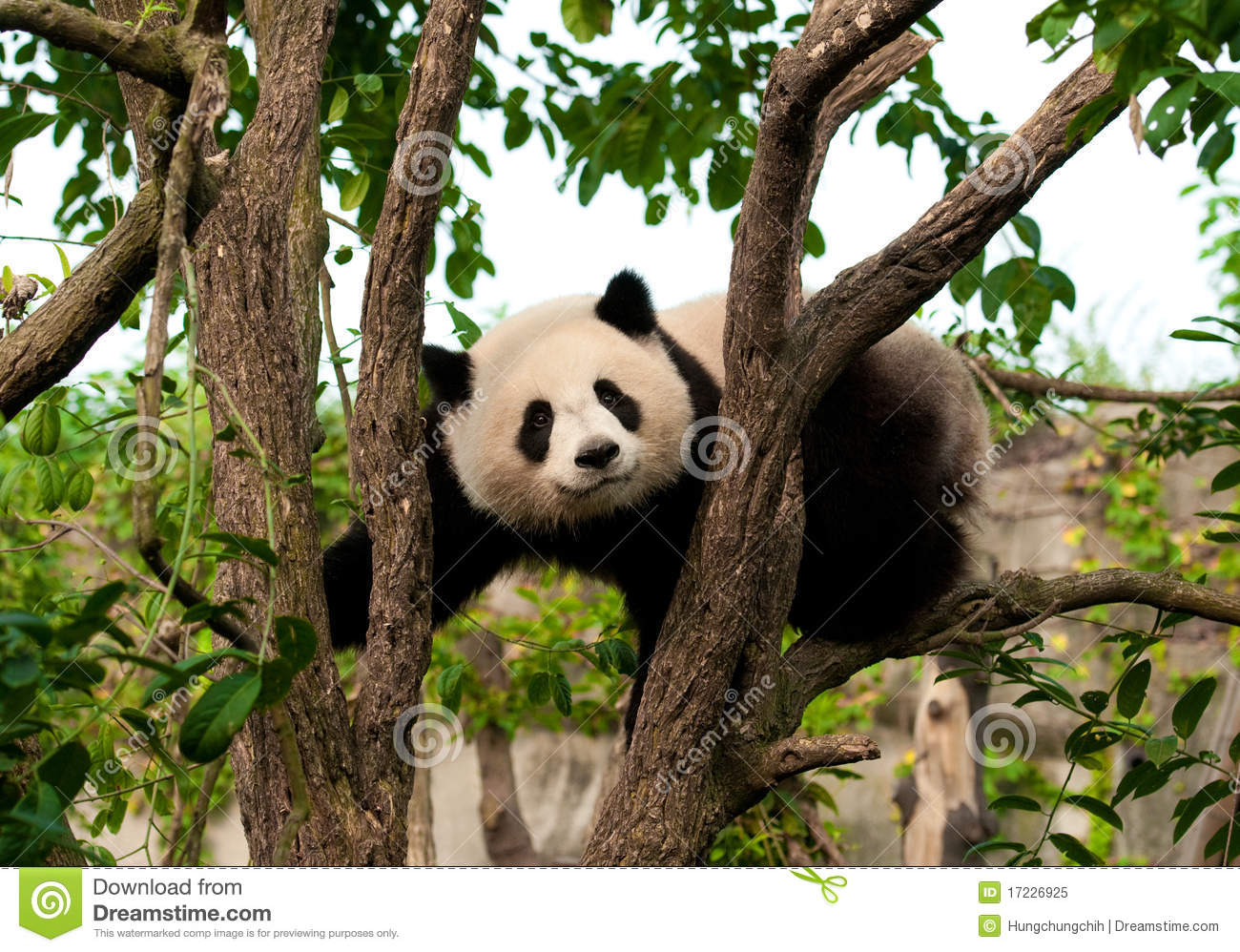 Cute Giant Panda Bear Climbing A Tree Royalty Free Stock Photo - Image ...