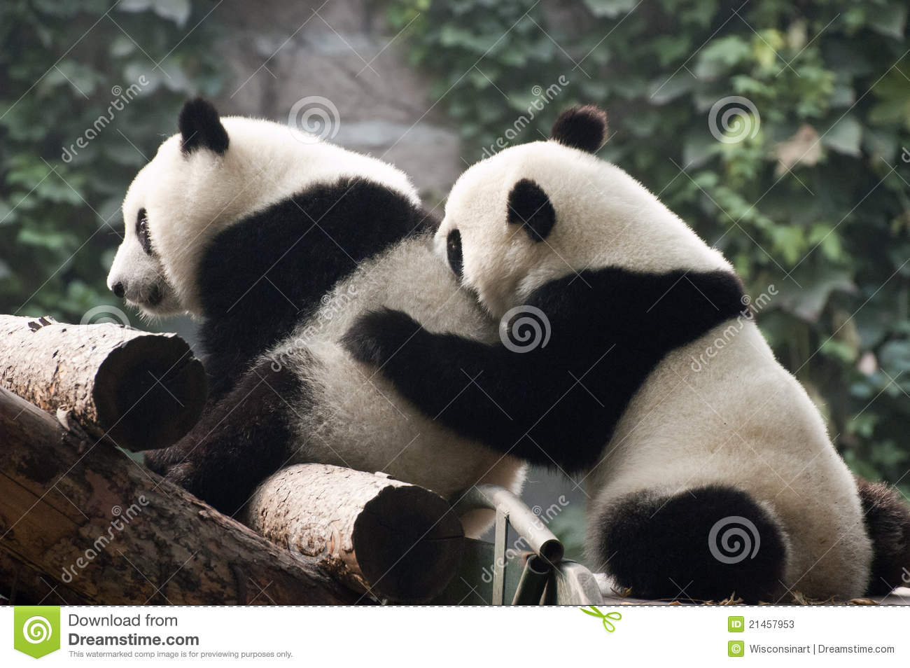 Cute Giant Panda Bear Cub Play, Beijing Zoo China Stock Photos - Image ...
