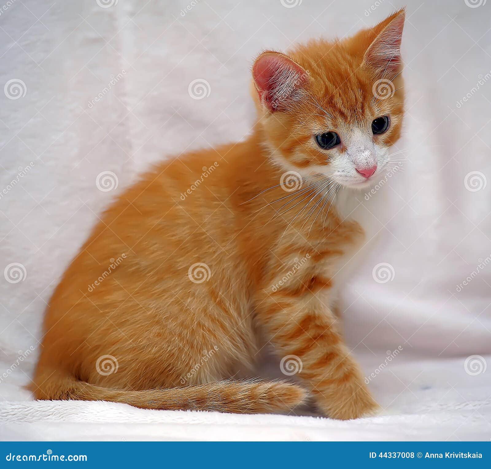 Cute Orange Kitten Blue Eyes Stock 2 259 s
