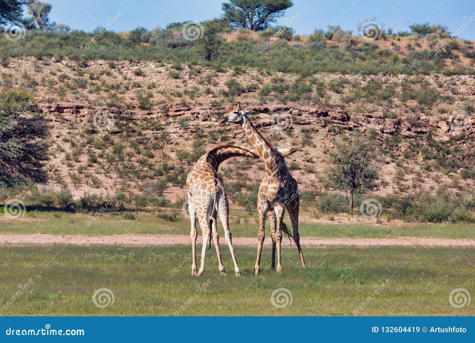 Cute Giraffes in love, South Africa wildlife