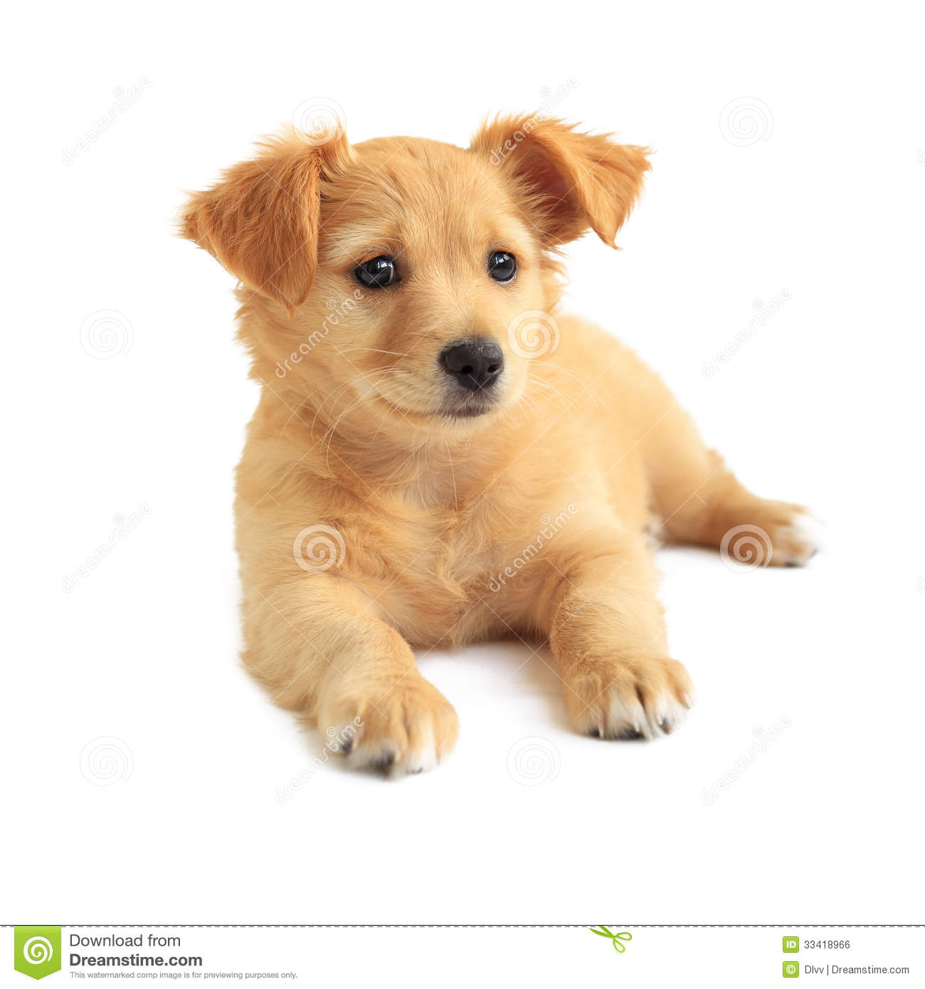 Cute Golden Retriever Mixed Breed Puppy Stock Photo Image Of Mutt
