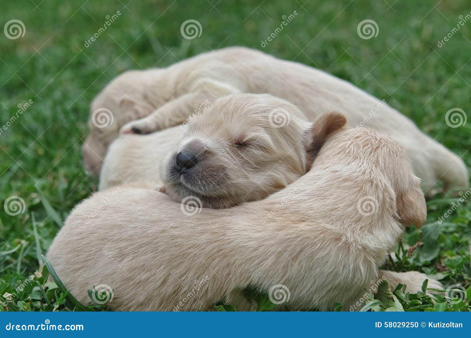cute golden retriever puppies sleeping stock photo - image of mammal