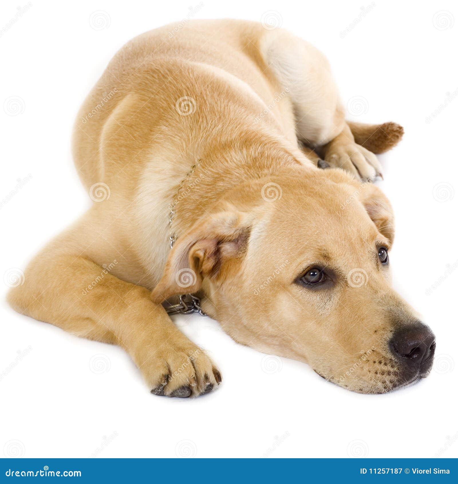 Cute Golden Retriever Puppy Stock Image Image