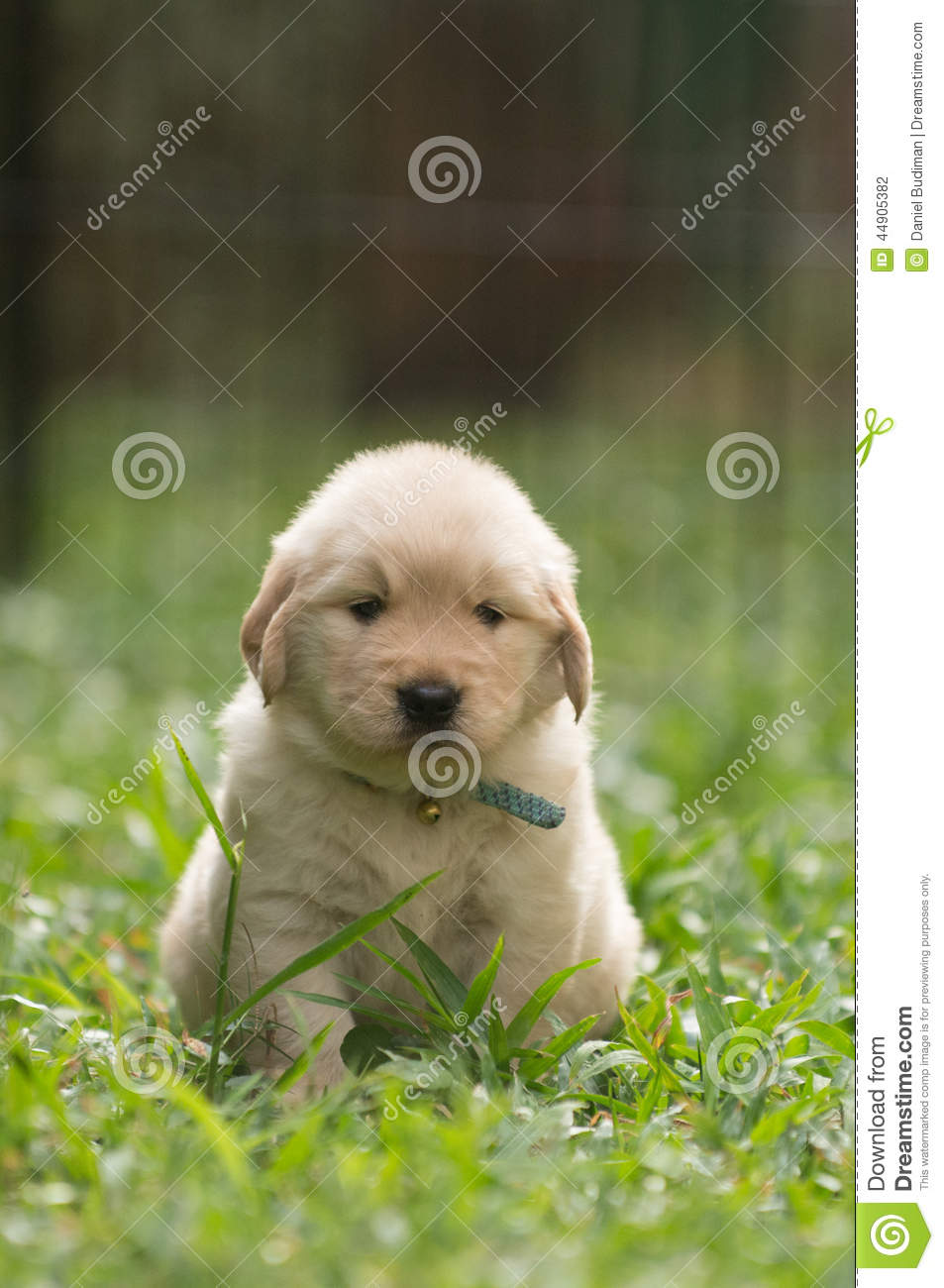 Cute golden retriever puppy with funny expression