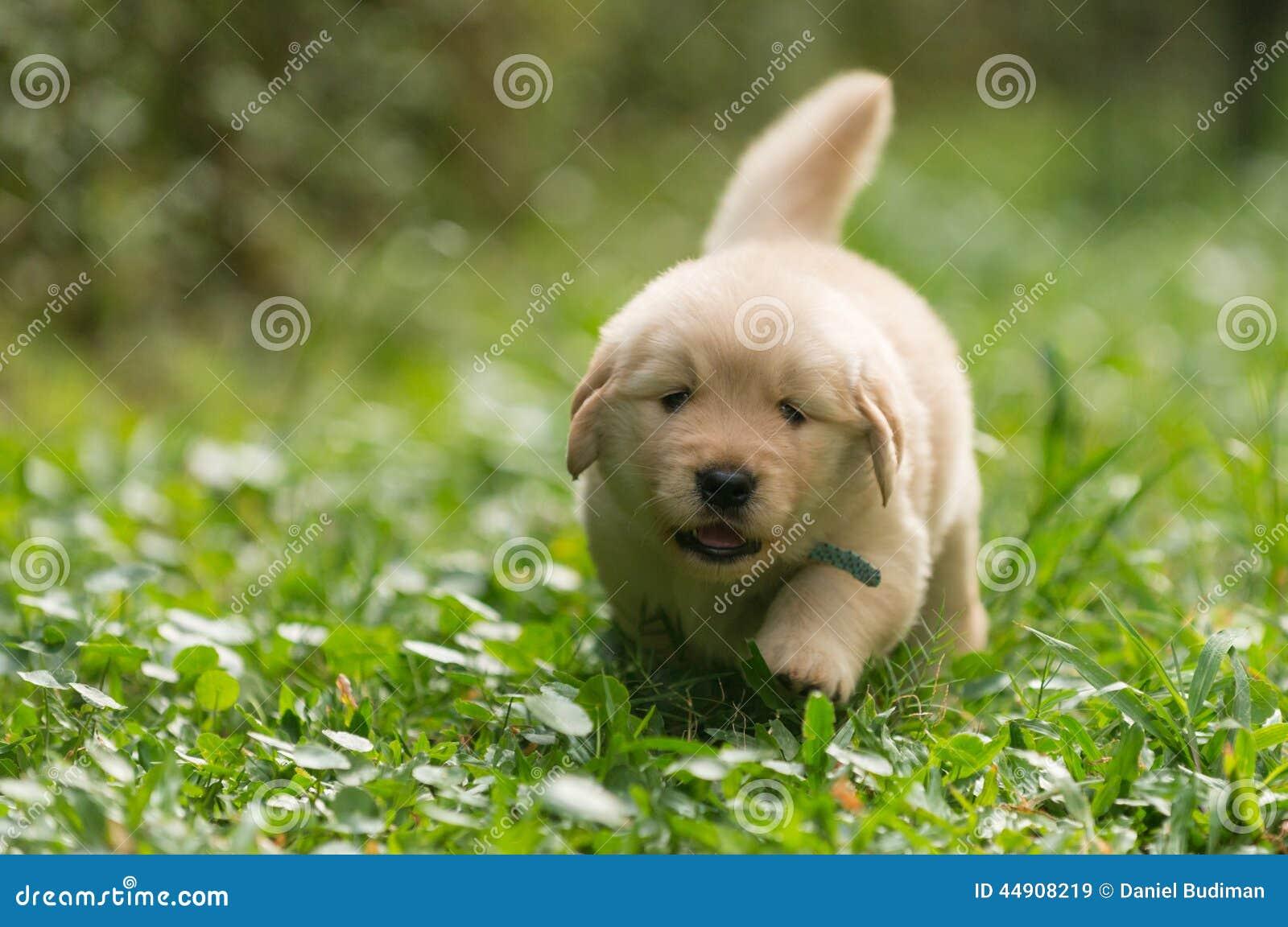 Cute Golden Retriever Puppy Running In The Garden Stock Image