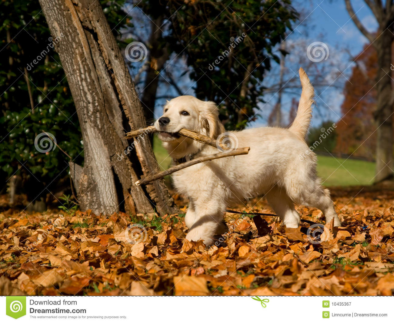 cute golden retriever puppy with stick stock image image 10435367. Black Bedroom Furniture Sets. Home Design Ideas